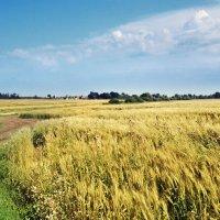 Пшеница :: Анна (Анка) Салтыкова