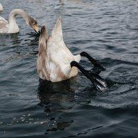 Лебединое озеро :: Роман Жданов