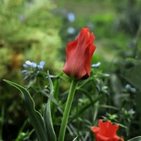 Цветочек Аленький? Is the Scarlet Flower? :: Юрий Воронов