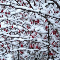 Барбарис в снегу :: Mariya laimite