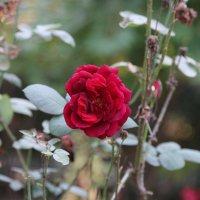 Красная роза :: ЕЛЕНА СОКОЛЬНИКОВА