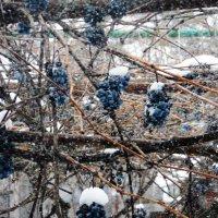 Снег на винограднике. :: Вячеслав Медведев