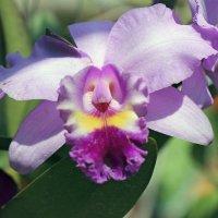Из жизни орхидей :: Андрей Иванович (Aivanovich-2009)