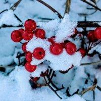 Ягоды на снегу :: Сергей Кочнев