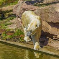 Медведь в зоопарке Нюрнберга :: Сергей Цветков