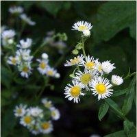 Дворовые цветы :: Сергей Порфирьев