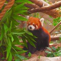 Красная панда :: Анатолий Иргл