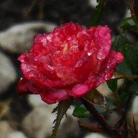Розы...розы... И дожди! :: Вячеслав Медведев