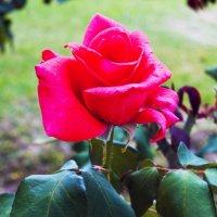 """""""Роза"""" :: Aleks Ben Israel"""