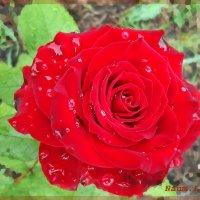 Летние краски цветов :: Лидия (naum.lidiya)