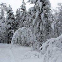 Снег в лесу. :: Галина Полина