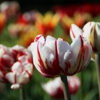 Малютки феи спят в цветах тюльпана.. :: Татьянка *