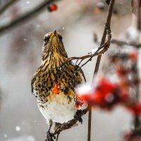 Дрозд, Рябина и снегопад :: Юлия Холодкова