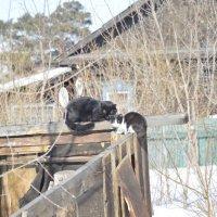 коты :: Ирина Русакова