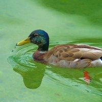 Заплыв в изумрудной воде :: Анатолий Иргл