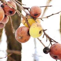 Зимние яблочки! :: Татьяна Помогалова