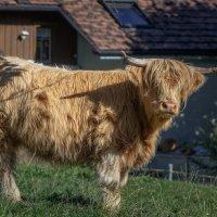 Про шотландского бычка :: Владимир Колесников