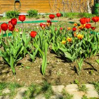 Весна на даче: тюльпаны. :: Александр Куканов (Лотошинский)