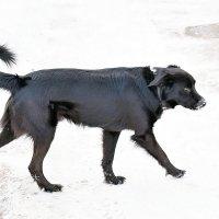 Чёрный пёс дорогу перешёл! :: Татьяна Помогалова