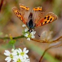 опять бабочки 4 :: Александр Прокудин