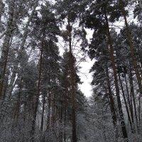 ... в белый снег весь лес одет :: Татьяна Котельникова