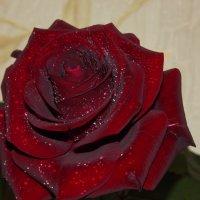Истиную цену розе знает лишь соловей! :: Нина Андронова