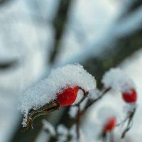 Зимний шиповник :: Екатерина Агаркова
