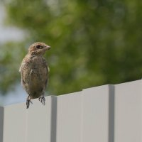 Одна маленькая, но гордая птичка... :: Елена Ахромеева