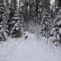 В заснеженном лесу :: Елена Смирнова