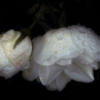 Капельки вечернего дождя :: Фотогруппа Весна.