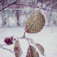 Зимняя вишня :: Владимир Мохов