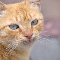 молодой рыжий котик :: Александр Деревяшкин