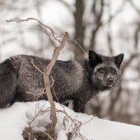 Лиса Иблис в зимнем лесу. :: Николай Нестеренко