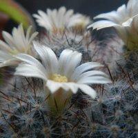 цветок кактуса :: Волкова Наталия
