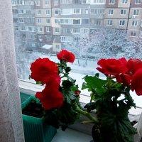 Цветы цветут,а за окном мороз! :: Наталья