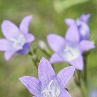 Четыре фиолетовых цветка :: Андрей Гуров