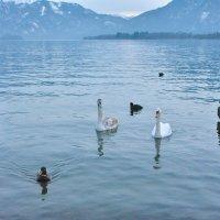 Тут зимуют лебеди :: Yelena LUCHitskaya