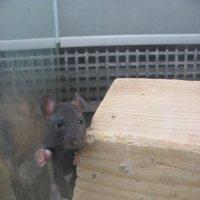 крысёнок-малыш :: Зинаида
