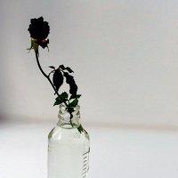 Роза на подоконнике :: Сергей Тарабара