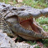 Весёлый крокодил :: Евгений Печенин