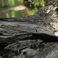 Старое дерево :: Максим Тураев