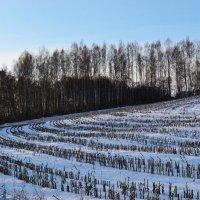 Зимнее кукурузное поле :: Юлия Фалей