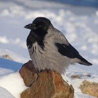 Серая ворона :: Константин Ординарцев
