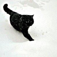 Белый снег и чёрный кот! :: Михаил Столяров