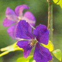 городские цветы-клематисы :: Олег Лукьянов