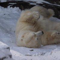 Белый медведь :: Владимир Шадрин