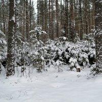 В зимнем наряде ели :: Милешкин Владимир Алексеевич