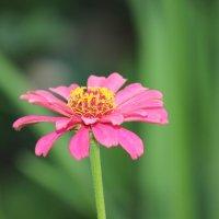 Карпатские цветы-4. :: Руслан Грицунь