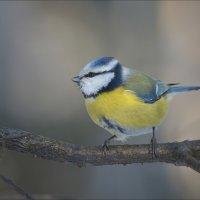 Птичка-невеличка... :: Андрей Медведев