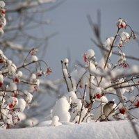 Калина в снегу :: Наталья Соколова